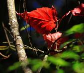 2011-12-18 稍來山步道-楓紅:2011121714.JPG