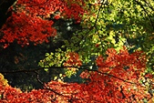 2014-11-22 楓紅.瘋紅:2014112201.jpg
