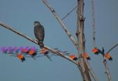 園區鳥類:102.12.04 033.jpg