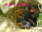 未分類相簿:鳥-巢-雛鳥-8.jpg
