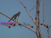 園區鳥類:102.12.04 019.jpg
