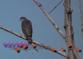 園區鳥類:102.12.04 036.jpg