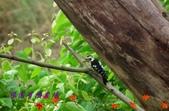 園區鳥類:102.08.16 017.jpg