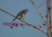 園區鳥類:102.12.04 020.jpg