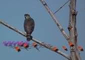 園區鳥類:102.12.04 021.jpg