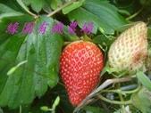 未分類相簿:990110 草莓-3.jpg