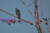園區鳥類:102.12.04 025.jpg