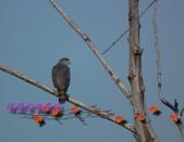 園區鳥類:102.12.04 026.jpg