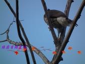 園區鳥類:103.01.07 021.jpg