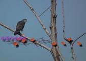 園區鳥類:102.12.04 029.jpg