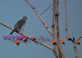 園區鳥類:102.12.04 030.jpg