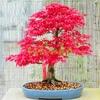 Beautiful-Japanese-Red-Maple-Seeds-20pcs-bag-Mini-Bonsai-Seeds-Bonsai-Tree-Seeds-Home-Garden-Maple.jpg