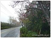 100-03-01-三芝_櫻花雨:P1000369.JPG