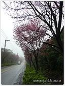 100-03-01-三芝_櫻花雨:P1000371.JPG