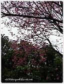 100-03-01-三芝_櫻花雨:P1000381.JPG