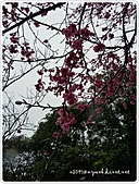 100-03-01-三芝_櫻花雨:P1000382.JPG