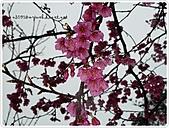 100-03-01-三芝_櫻花雨:P1000384.JPG