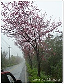 100-03-01-三芝_櫻花雨:P1000395.JPG