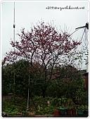 100-03-01-三芝_櫻花雨:P1000401.JPG