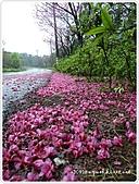 100-03-01-三芝_櫻花雨:P1000407.JPG