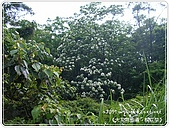 98-05-02-大艽芎古道‧桐花祭:SANY0258.JPG
