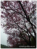 100-03-01-三芝_櫻花雨:P1000412.JPG