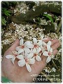 98-05-02-大艽芎古道‧桐花祭:SANY0276.jpg