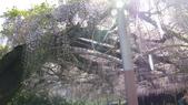 2013.4.21~4.22湯布院&別府地獄之旅:紫藤花@血池地獄