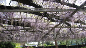 2013.4.21~4.22湯布院&別府地獄之旅:紫藤花