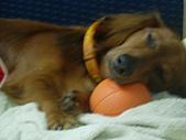 雪納瑞與小短腿:這是我心愛的球球喔..