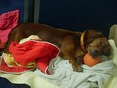 雪納瑞與小短腿:有球球睡的更好嚕~